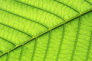 leaf vein abstract natural pattern background. diagonal stem line. green eco environmental and...