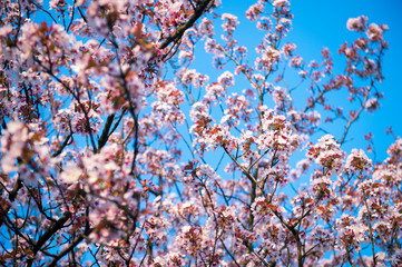 Pink cherry blossoms blooming in bright springtime sun under vibrant blue sky