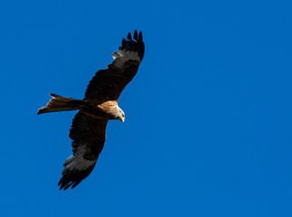 Red Kite on the wing