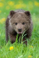 Brown bear cub playing on the summer field
