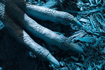 The detail of claws OF a prehistory lizard - dinosaur - RAPTOR IN THE Blue World.The detail of the dinosaur foot WITH THE GREAT  claws IN THE Blue LIGHT. Wall mural