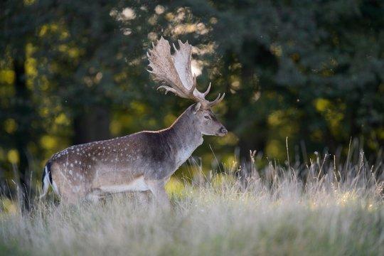 Fallow deer (Dama dama), buck in forest meadow, backlight, Zealand, Denmark, Europe