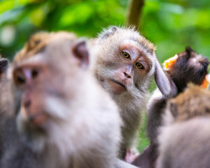 Macaque monkeys at Ubud Monkey Forest in Bali, Indonesia. One of them looking straight at the camera.