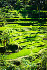 Tegalalang rice terraces beautiful rice paddies in Bali, Indonesia