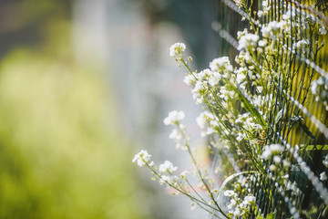 Summer white flowers at the fence - summer background
