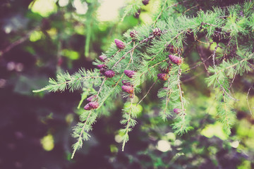 Summer beautiful background of nature - branches of larch cones