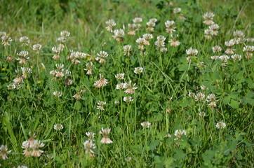 Fototapeta wiat, charakter, roślin, zieleń, kwiat, jardin, jary, roz, lato, kwiat, biała, gras, pola, makro, fiolet, flora, ziele, kwiat, hayfield, beuty, feuille, naturalny, kwitnienie, dzika, bl obraz