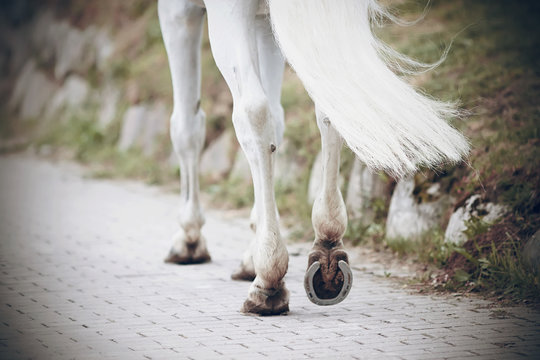The legs of a strong athletic white horse, with shod hooves, which goes on a paved road in the Park.