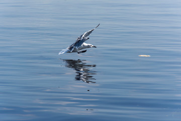seagull flying in the blue sea