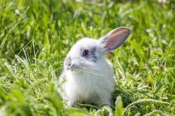 Little white fluffy rabbit on a green meadow.