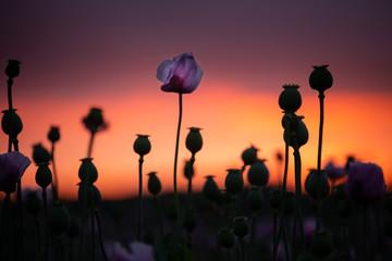 Lila Mohnblumen in schönem Abendlicht