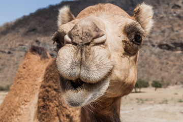 Photo sur Plexiglas Chameau Head of a camel at Wadi Dharbat near Salalah, Oman