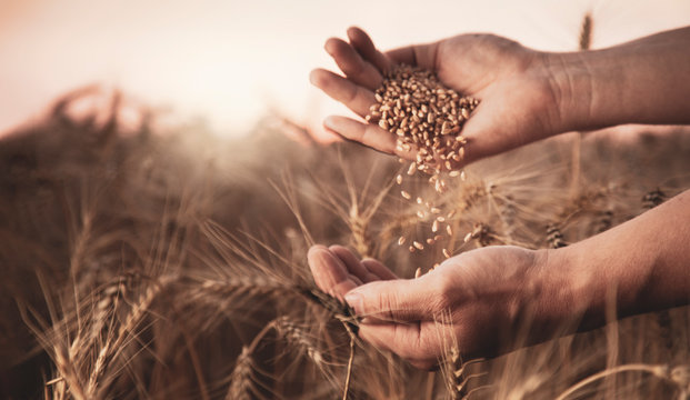 man pours wheat in hand to hand on the background of a wheat field