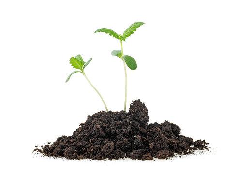 Cannabis sprouts in soil humus, white background. Cannabis Marijuana plant.