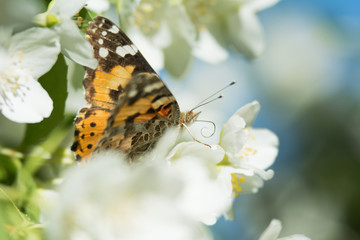 Vanessa cardui butterfly feeding on jasmine blossom - macro with proboscis extending - side view