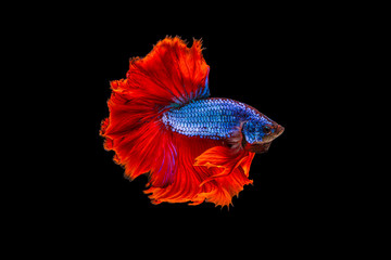Foto op Plexiglas Vissen The moving moment beautiful of red and blue siamese betta fish or fancy betta splendens fighting fish in thailand on black background. Thailand called Pla-kad or half moon biting fish.