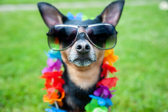 Stylish, fashionable portrait of a dog in sunglasses and a necklace of flowers on a green lawn..Summer holiday theme