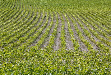 Corn grows in a field in Saint-Laurent-Des-Eaux near Orleans