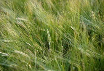 Wheat grows in a field in Saint-Laurent-Des-Eaux near Orleans