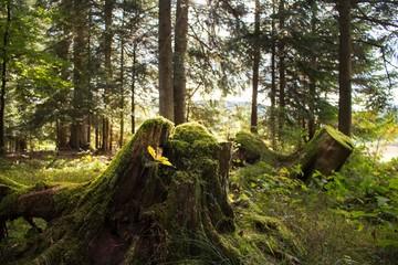 Alter Baumstumpf im Wald