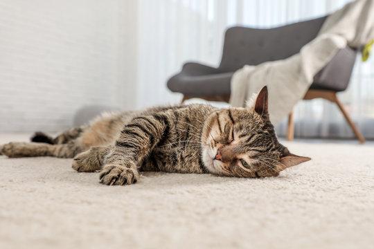 Tabby cat on floor in living room