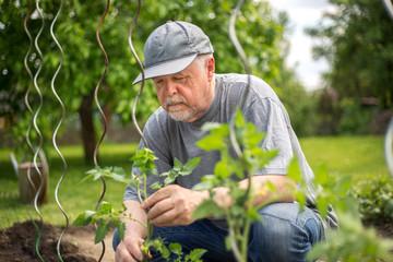 Senior man planting tomatoes at his huge garden, gardening concept