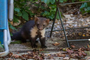 joung Stone marten peeks out of Garden Chairs Wall mural