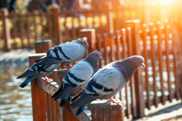 group of pigeons standing on wooden fence at the public park