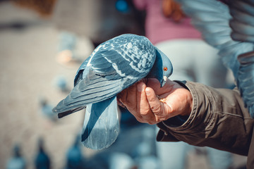 Man feeding hungry pigeon with wheat grains in his hand