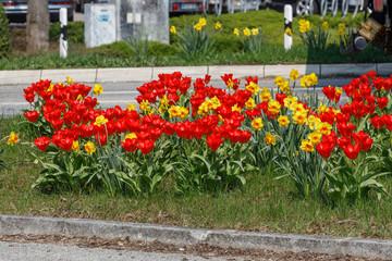 Rote Tulpen und gelbe Narzissen im Frühling auf einer Verkehrsinsel in Ahrensburg, Schleswig-Holstein