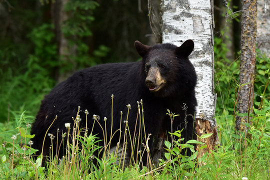 Black Bear Browsing for Food