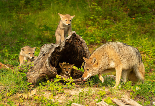 Coyote mother & pups