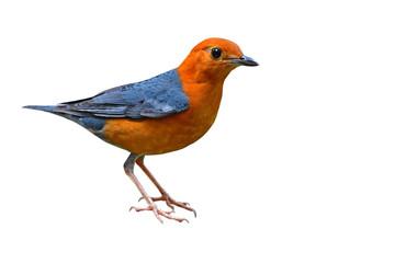 Orange headed Thrush Bird Fotoväggar