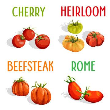 Vector set. Illustration of cherry, heirloom, rome, beefsteak tomatoes isolated.