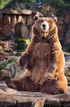 brown bear in zoo sitting