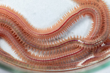 Sand Worm (Perinereis sp.) is the same species as sea worms (Polychaete), Living in a beach area with relatively shallow water levels for education in laboratory.
