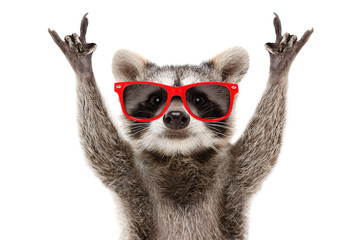 Portrait of a funny raccoon in red sunglasses showing a rock gesture isolated on white background Wall mural
