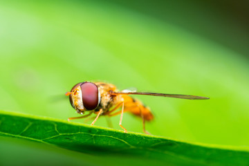 Macro shot of a marmalade hoverfly or Episyrphus balteatus on a green leaf