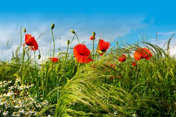 Fotoväggar - Red poppies in a summer meadow