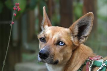 Portrait Hund mit Iris-Heterochromie, Odd-eyed im Garten