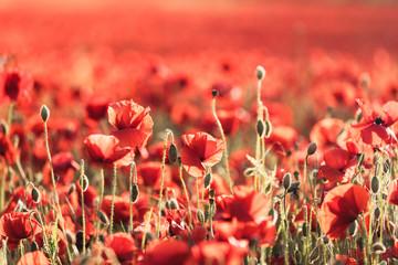 Obraz red poppies in poppy field - fototapety do salonu