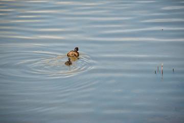 Duck with duckling at The Christopher Cadbury Wetland Reserve at Upton Warren, wildlife trust Worcestershire