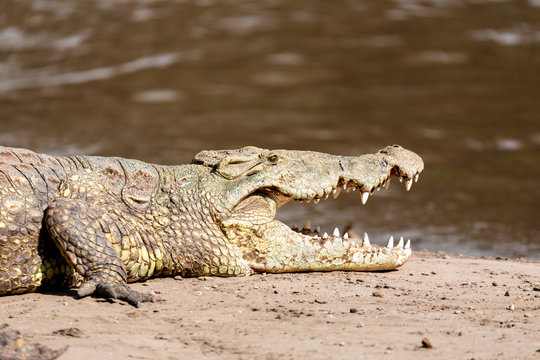 big nile crocodile with mouth open. Crocodylus niloticus, largest fresh water crocodile in Africa, is panting and resting on sand in Awash Falls, Ethiopia, Africa wildlife