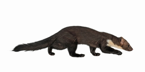 Stone marten, or Beech marten (Martes foina), isolated on White background Wall mural