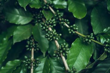 Coffee tree Coffee seedlings Sprouting In nature Wall mural