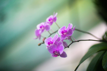 Beautiful violet orchidea flower with blurred green background
