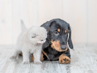 Gray kitten with dachshund puppy on the floor at home