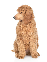 Royal poodle looking away. isolated on white background