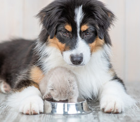 Close up aussie dog and kitten eat together from one bowl at home