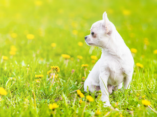 Chihuahua puppy on green summer grass looking away on empty space
